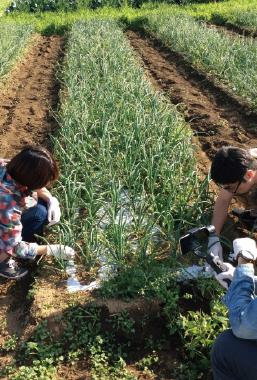 玉ネギ畑の草取り